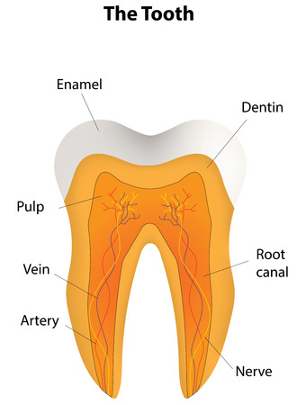 root canal: The Tooth Cross Section