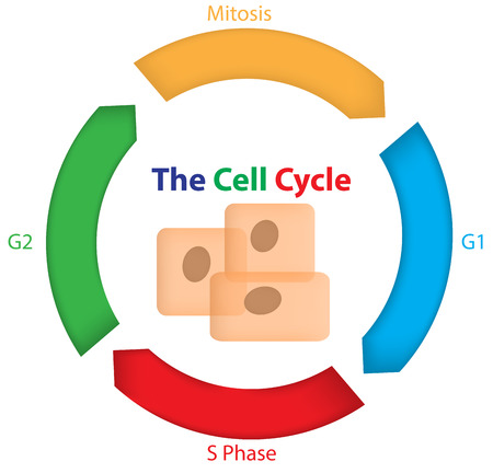 replication: The Cell Cycle Illustration