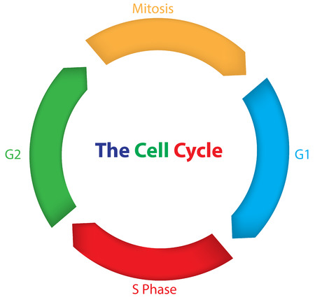 Colorful Cell Cycle Vector