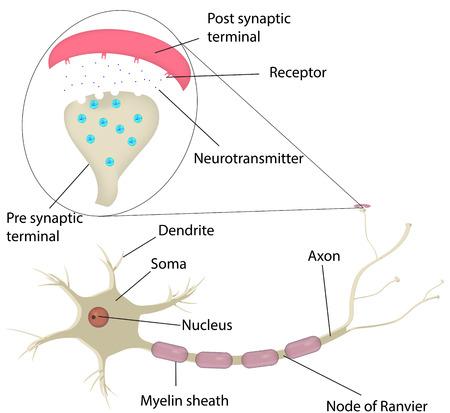 nervios: Neurona y Sinapsis Etiquetada Diagrama