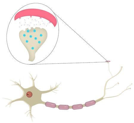 zenuwcel: Neuron en Synapse Stock Illustratie