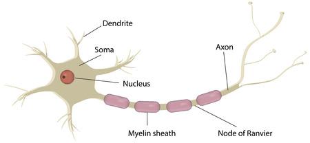 Neuron Labeled Diagram Vectores