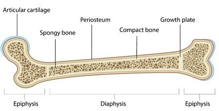 ラベル付けされた骨の解剖学 写真素材 - 31325128
