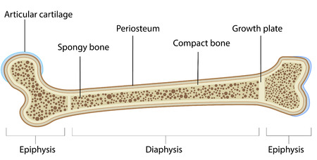 Labeled Bone Anatomy Illustration
