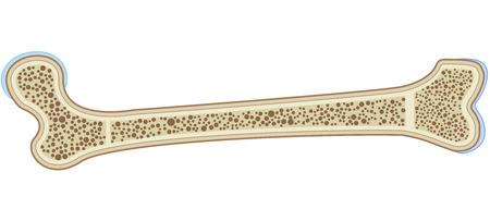 humerus: Bone Anatomy