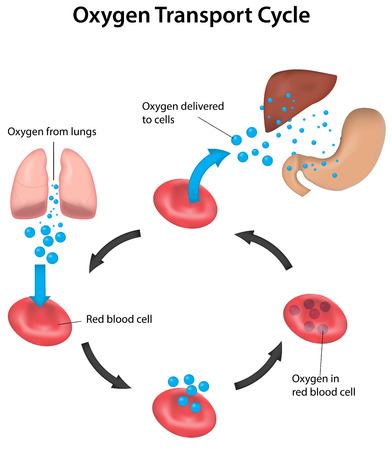oxygen transport: Oxygen Transport and Perfusion Labeled Diagram