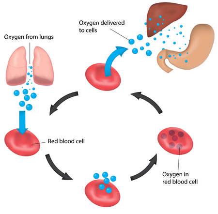 oxygen transport: Oxygen Transport and Perfusion Labeled Illustration