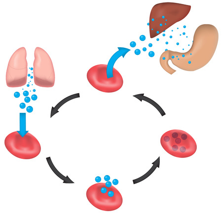 oxygen: Oxygen Transport and Perfusion Illustration