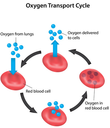 Oxygen Transport Cycle Labeled Diagram Vetores