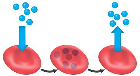 haemoglobin: Oxygen Transport