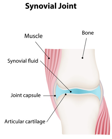 labeled: Synovial Joint Labeled Diagram Illustration