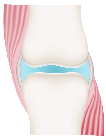 Synovial Joint with Muscles  イラスト・ベクター素材