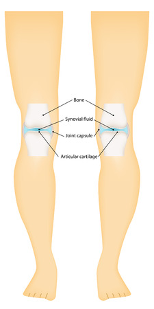 articular: Knee Synovial Joint Labeled