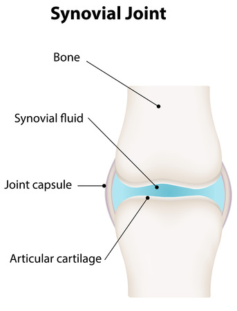 labeled: Synovial Joint Labeled Illustration