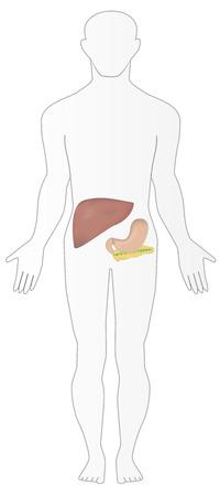 pancreatic cancer: Abdominal Organs in Situ