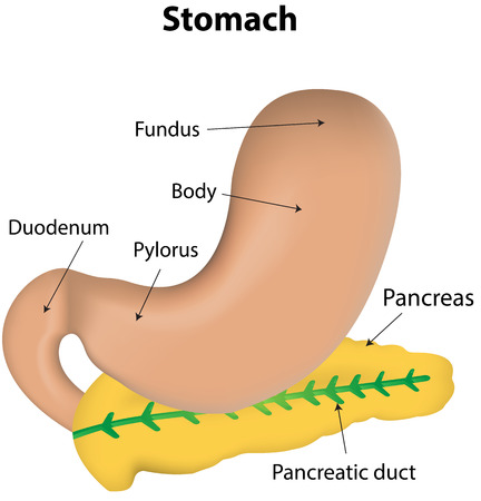 labeled: Stomach and Pancreas Labeled Diagram