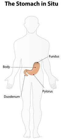 labeled: Stomach in Situ Labeled Diagram