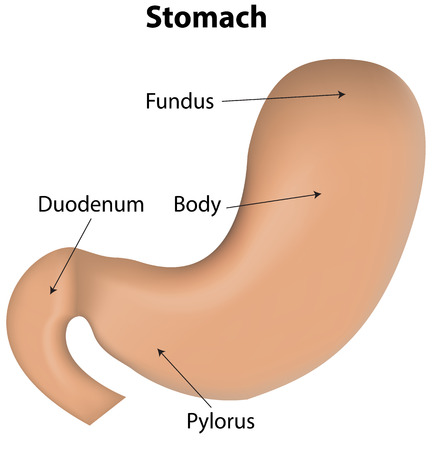 labeled: Stomach Labeled Diagram