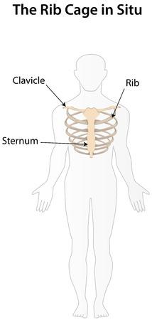 pleura: Rib-cage in Situ Labeled Diagram