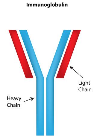 Immunoglobulin Labeled Diagram