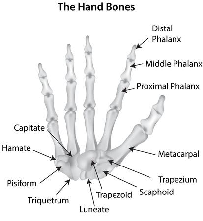 phalanx: Il diagramma ossa della mano con etichetta