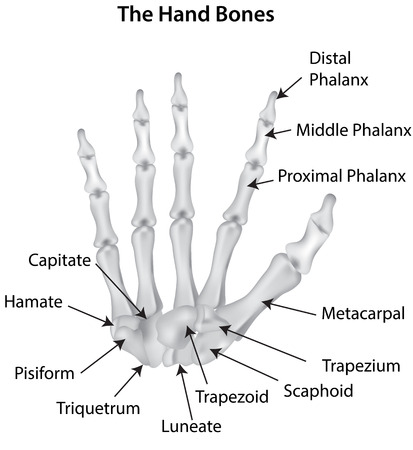 The Hand Bones Labeled Diagram Royalty Free Cliparts Vectors And