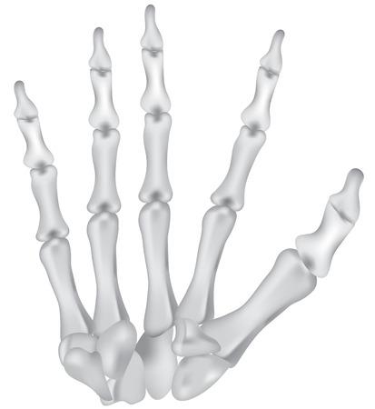 phalanx: Le ossa della mano