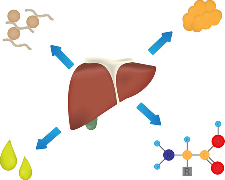 synthesis: What Does the Liver Produce