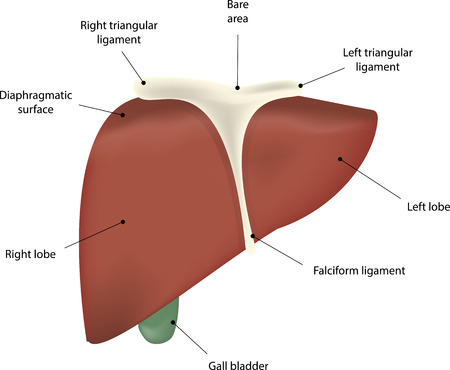 The Liver Labeled Diagram Royalty Free Cliparts Vectors And Stock