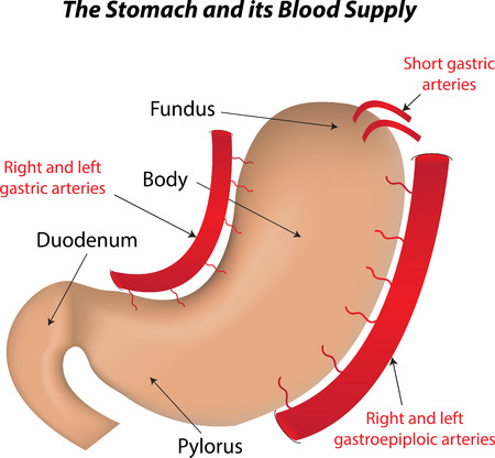 fundus of stomach: The Stomach and its Blood Supply