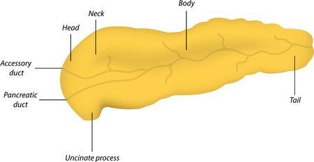 duct: Anatom�a del p�ncreas