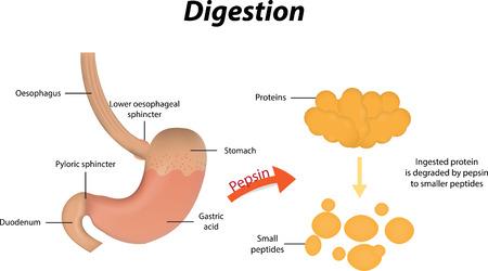 단백질의 소화 일러스트