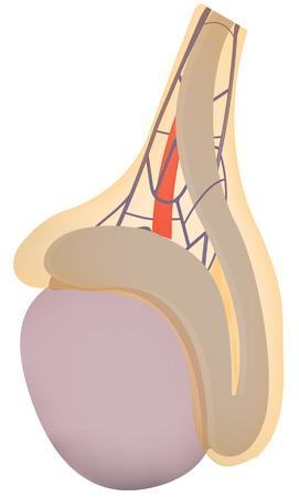 Testicle