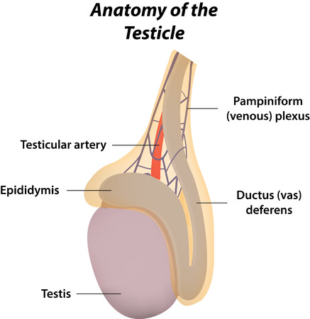 Anatomy of the Testicle