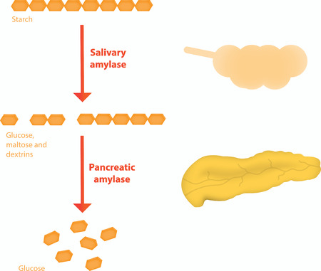 starch: Carbohydrate Digestion