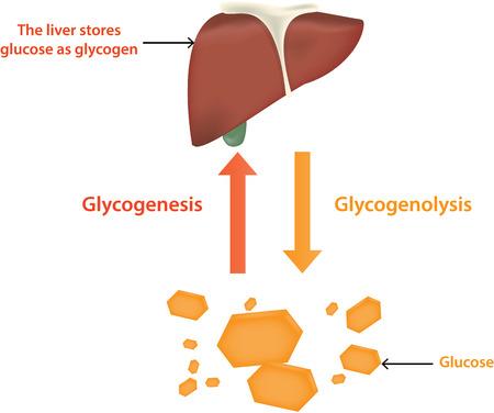 hepatic: Glycolysis and Glycogenolysis