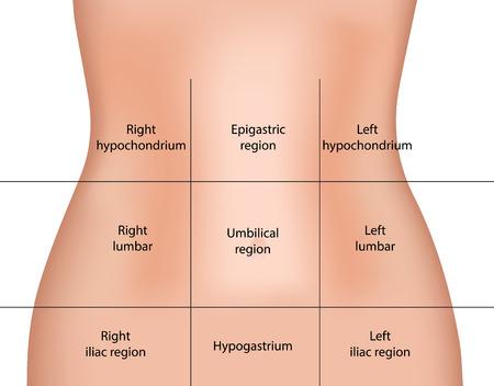 abdomens: Abdominal Regions