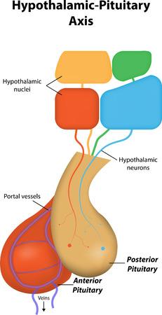 hipofisis: Hipotalámico hipofisario Eje