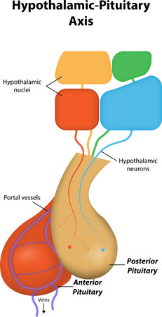 pituitary gland: Hypothalamic Pituitary Axis