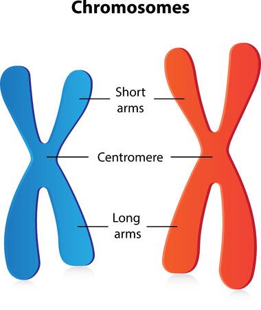 meiosis: Chromosomes Labeled Diagram