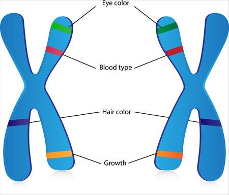 blood type: Los genes y alelos Vectores