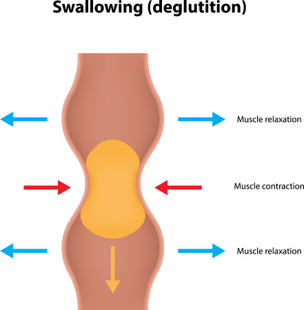 esophagus: Swallowing (deglutition) Illustration