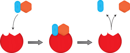 enzymes: The Lock and Key Mechanism