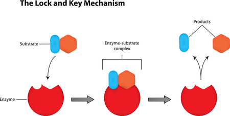 enzymes: The Lock and Key Mechanism Labeled Diagram