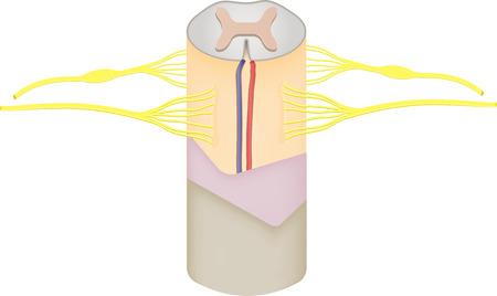 脊髄損傷  イラスト・ベクター素材