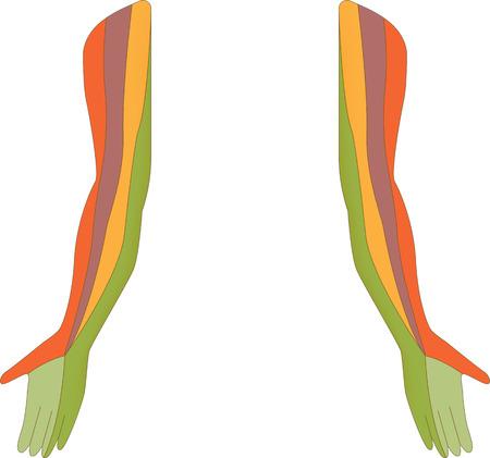 klatki piersiowej: Dermatomu Mapa kończyny górnej