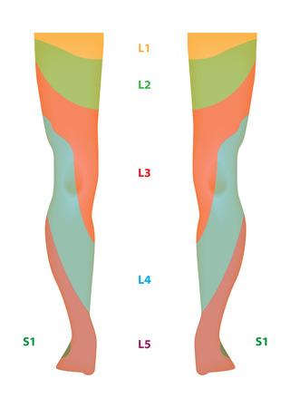 klatki piersiowej: Dermatomu Mapa kończyny dolnej Ilustracja