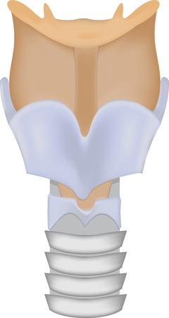 laringe: Laringe Ilustraci�n Vectores