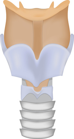 larynx: Larynx Illustration Illustration