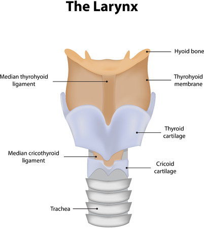 larynx: Larynx Labeled Diagram